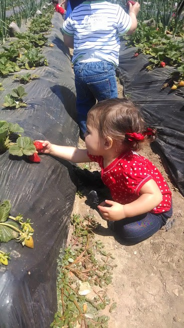 toddler picking strawberries