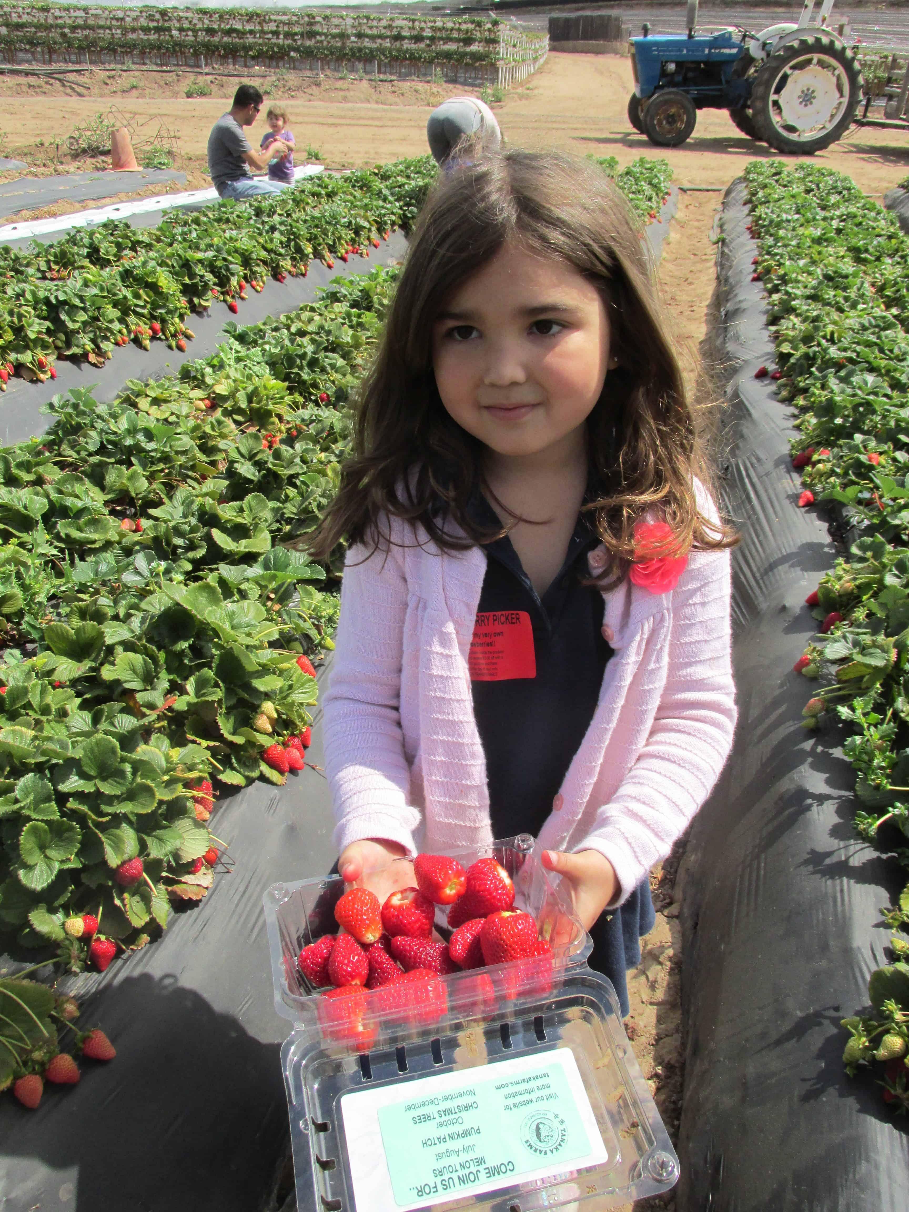 preschooler picking strawberries