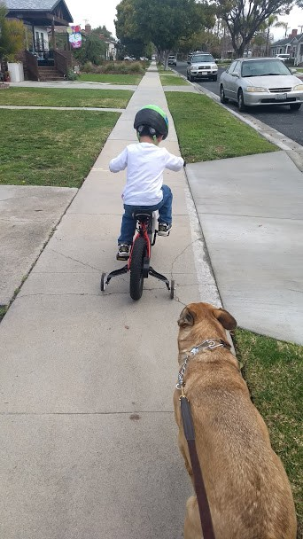 Toddler biking after dinner to help accompany while walking the dog.