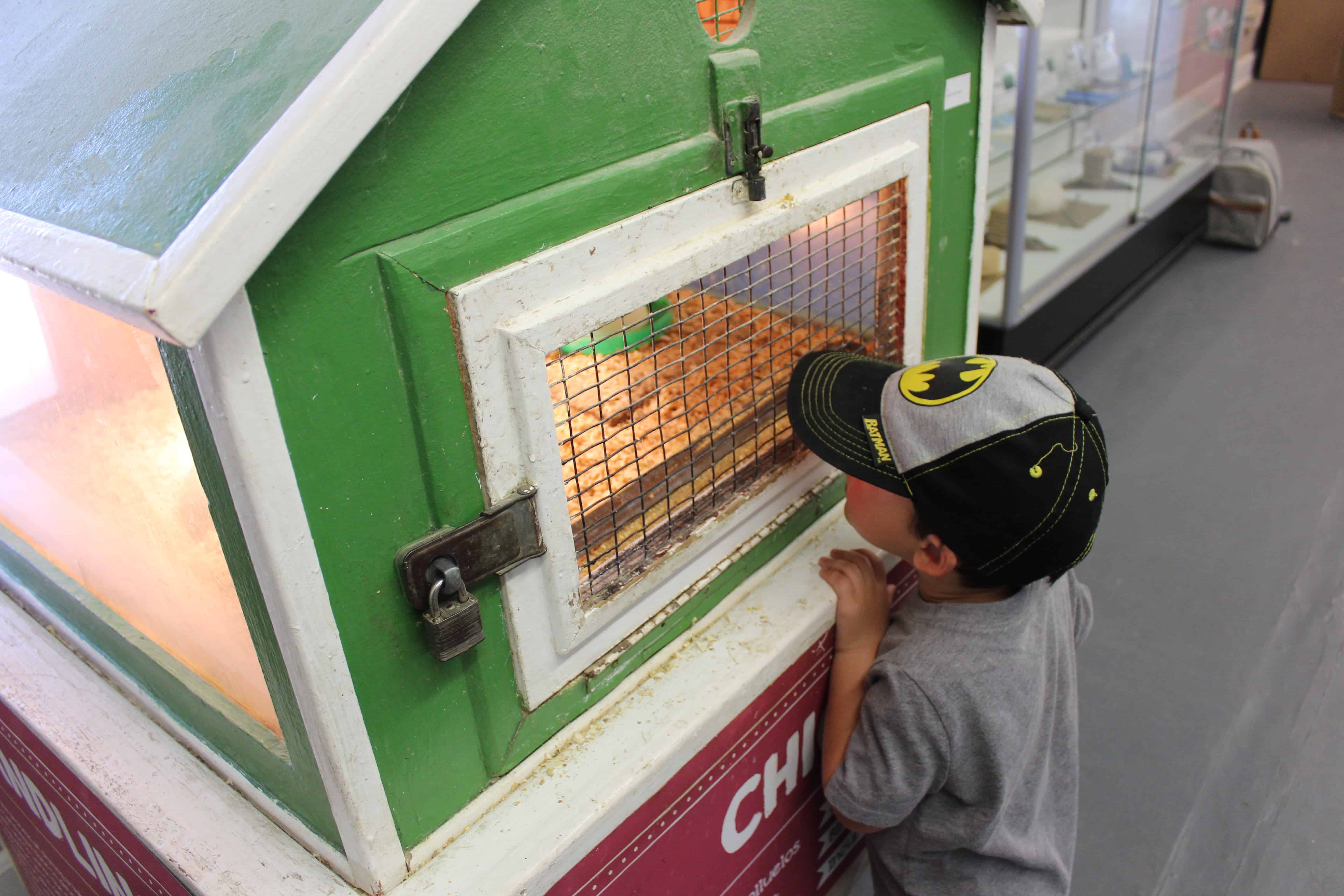 little boy looking at a coop with baby chicks